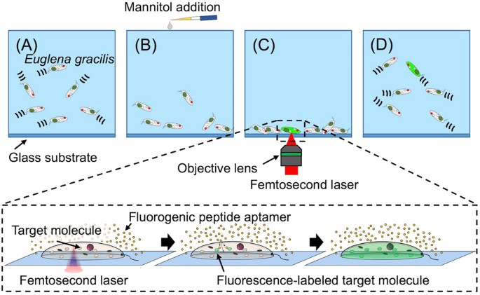 Targeted Delivery Of Fluorogenic Peptide Aptamers Into Live