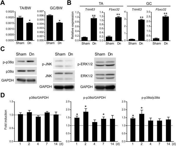 Targeted Ablation Of P38 Mapk Suppresses Denervation Induced Muscle