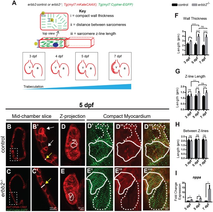 Rapamycin attenuates pathological hypertrophy caused by an absence