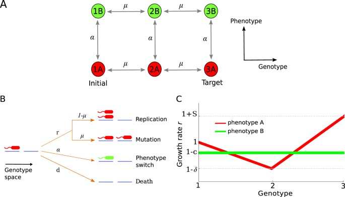 Phenotypic Switching Can Speed up Microbial Evolution - Scientific Reports