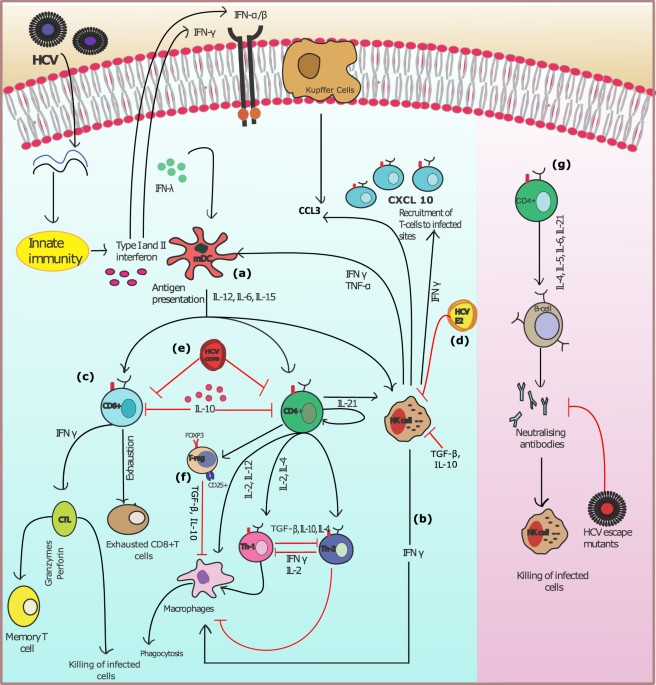Model Of The Adaptive Immune Response System Against Hcv Infection