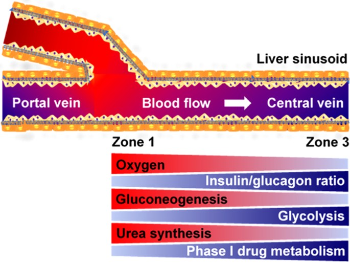 Metabolic Patterning On A Chip Towards In Vitro Liver Zonation Of