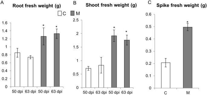 Omics approaches revealed how arbuscular mycorrhizal symbiosis fresh weight of roots a and leaves b of the control c and mycorrhizal m wheat plants harvested at 50 and ccuart Image collections