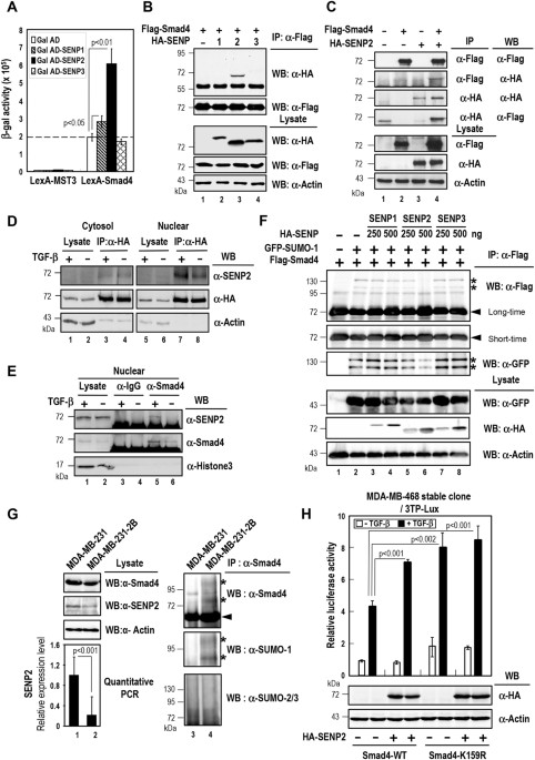 The role of sentrin-specific protease 2 substrate recognition in ...