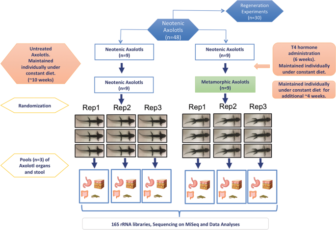 Experimentally Induced Metamorphosis In Highly Regenerative Axolotl