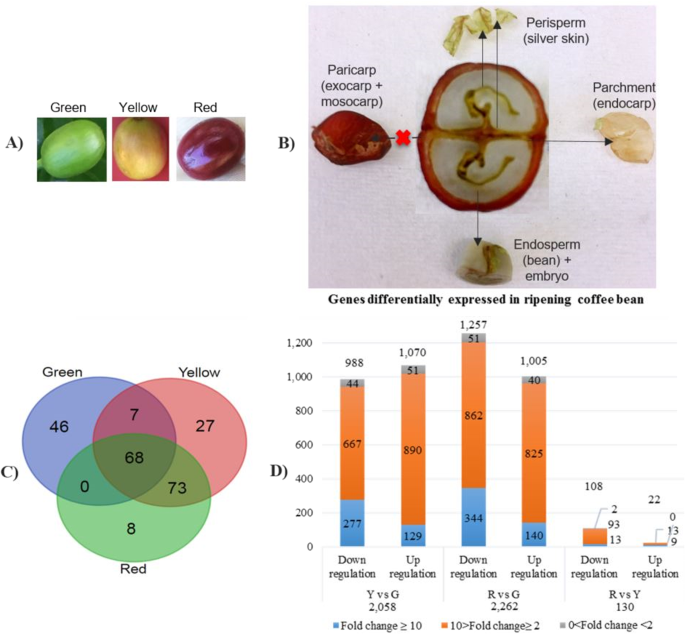 The Coffee Bean Transcriptome Explains The Accumulation Of The Major