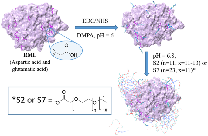 Insight into the molecular mechanism behind PEG-mediated