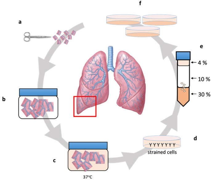 lung diagram cow isolation and characterisation of alveolar type ii pneumocytes  alveolar type ii pneumocytes