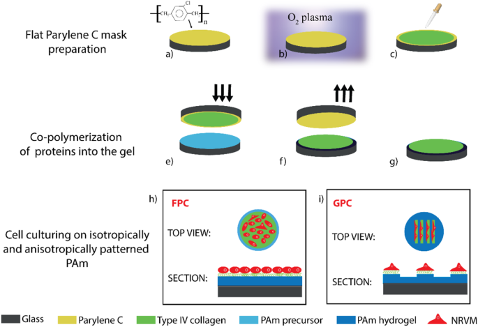 Effect of patterned polyacrylamide hydrogel on morphology and