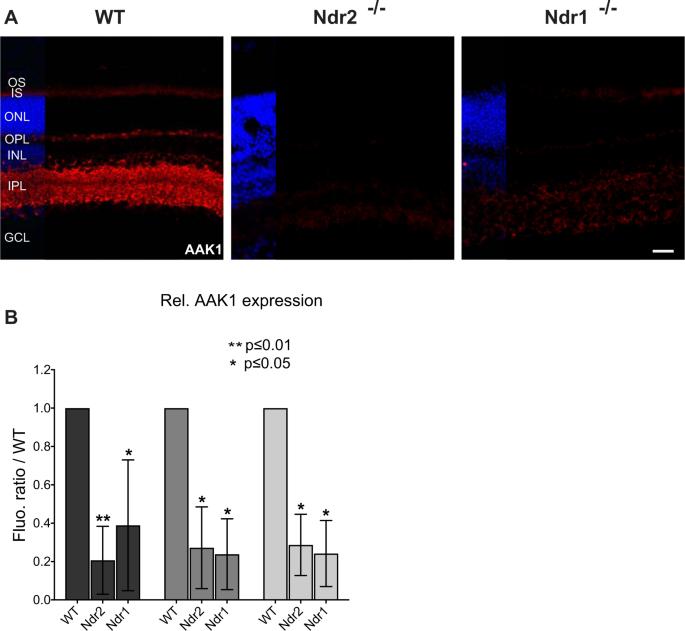 Ndr kinases regulate retinal interneuron proliferation and ... on