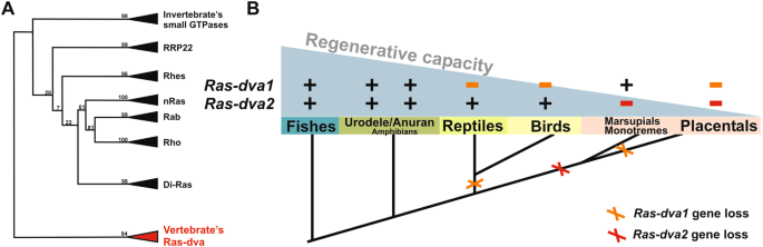 Ras dva small gtpases lost during evolution of amniotes regulate genes of ras dva family of small gtpases were eliminated during vertebrates evolution a schematic version of the phylogenetic tree full version see at ccuart Gallery