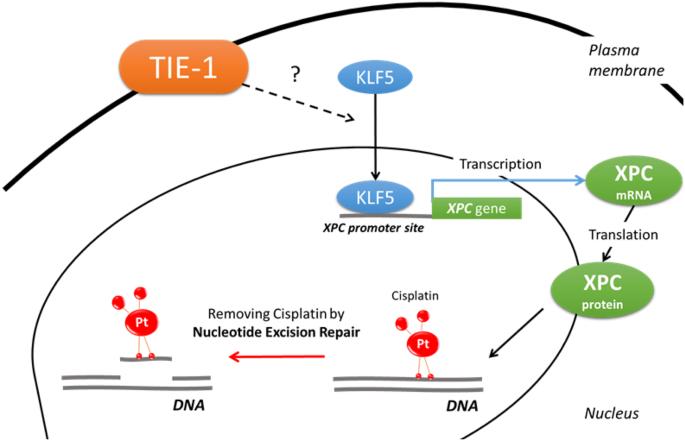 Tyrosine Kinase Receptor Tie 1 Mediates Platinum