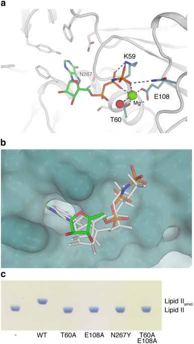 structural basis of cell wall peptidoglycan amidation by the gatd