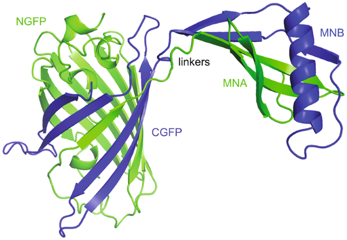 Protein stabilization with retained function of monellin using a