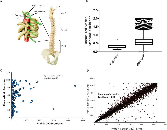 Comparison Of The Rat And Human Dorsal Root Ganglion Proteome