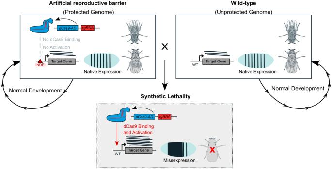 Rationally-engineered reproductive barriers using CRISPR & CRISPRa