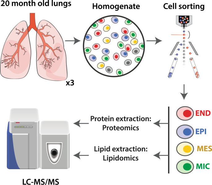 cell type resolved human lung lipidome reveals cellular  lung cell diagram #5