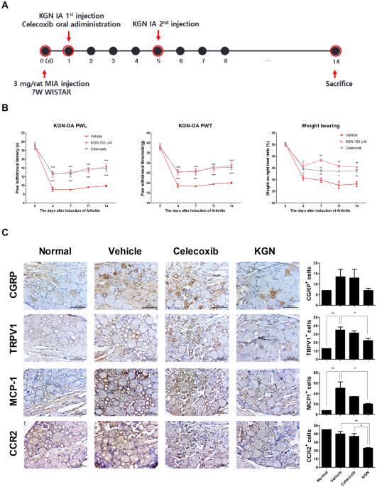 Kartogenin Inhibits Pain Behavior Chondrocyte Inflammation And