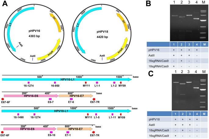 takara pcr human papillomavirus typing set