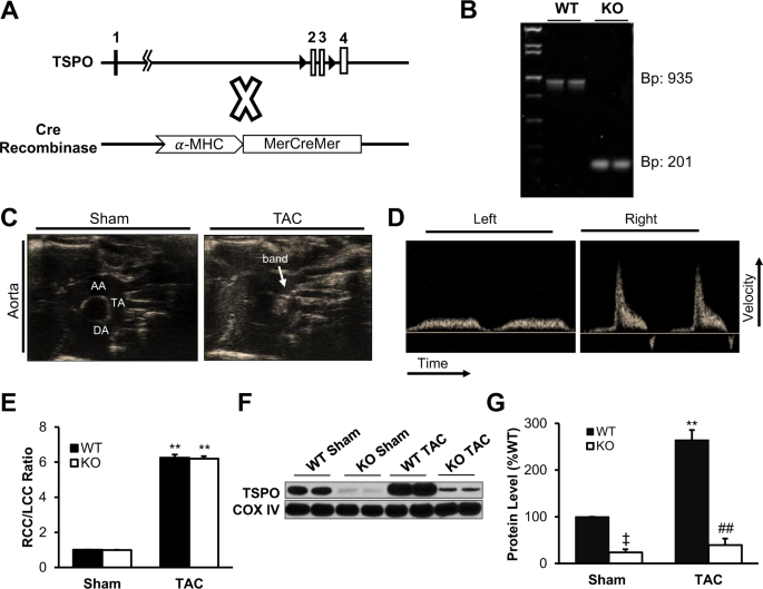 Cardiac-specific Conditional Knockout of the 18-kDa Mitochondrial