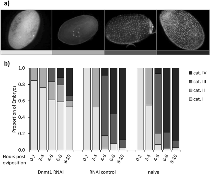 <i>Dnmt1</i> has an essential function despite the absence of CpG DNA methylation in the red flour beetle <i>Tribolium castaneum</i>