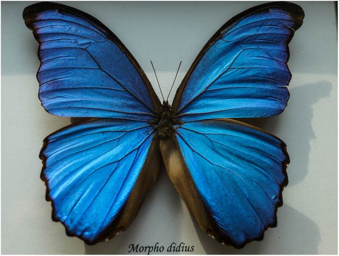 A Biomimicry Design For Nanoscale Radiative Cooling Applications Inspired By Morpho Didius Butterfly Scientific Reports