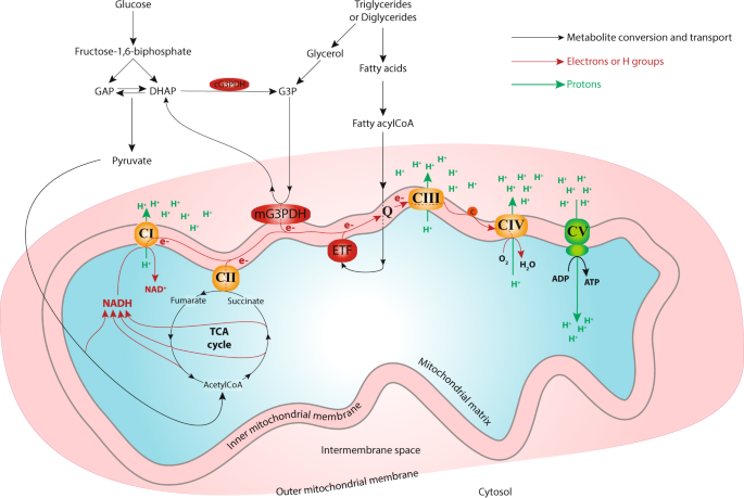 Dynamic mitochondrial responses to a highfat diet in