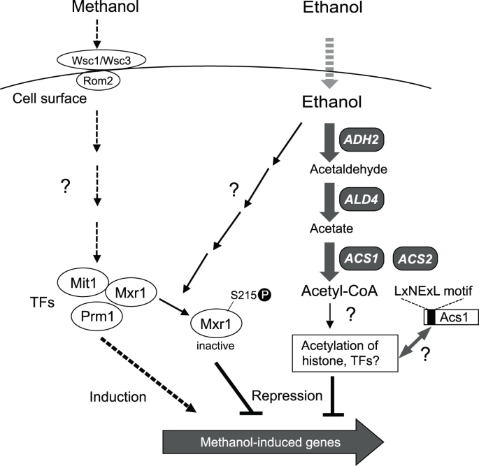 Methanol Vs Ethanol >> Ethanol Represses The Expression Of Methanol Inducible Genes Via