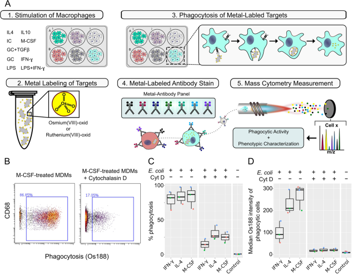 In-Depth Characterization of Monocyte-Derived Macrophages