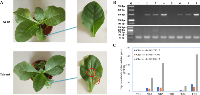 Transcriptome analysis of two cultivars of tobacco in