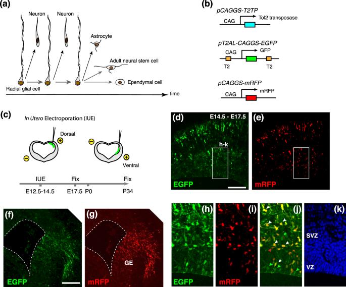 neurons and non neuronal cells