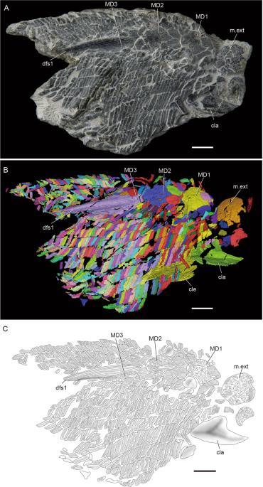 b36854dcc69 (A) New articulated specimen of Guiyu oneiros (V25047). (B)  Three-dimensional virtual reconstruction of V25047. (C) Interpretative  drawing of V25047. cla