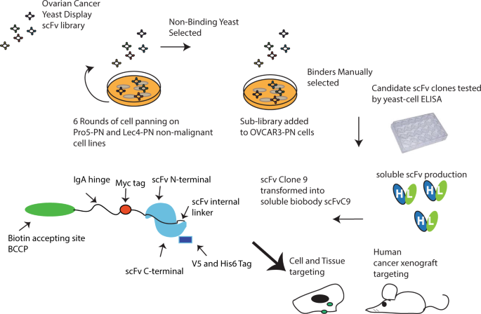 Generation of a Fully Human scFv that binds Tumor-Specific Glycoforms