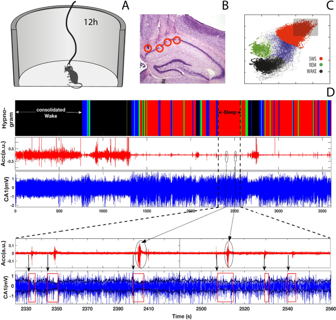 Hippocampal and cortical communication around micro-arousals