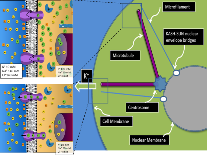 Signal transmission through elements of the cytoskeleton