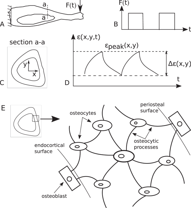 An Invertible Mathematical Model Of Cortical Bones Adaptation To