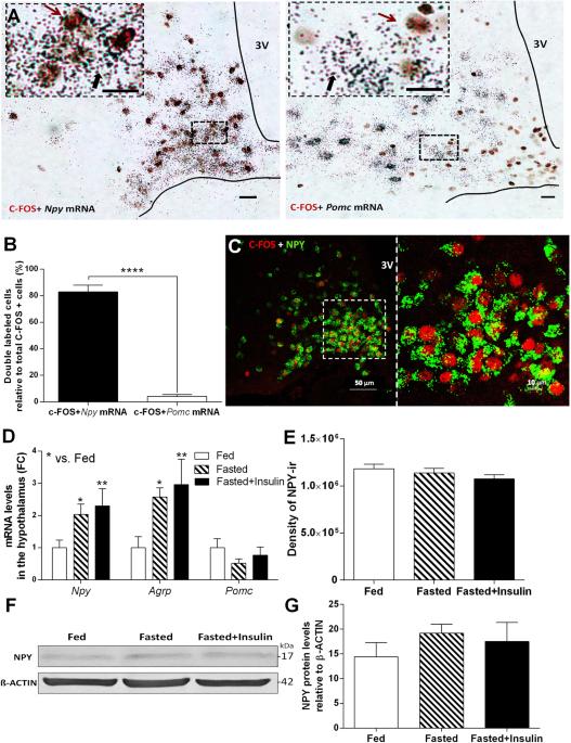 Hypoglycemia-activated Hypothalamic Microglia Impairs Glucose Counterregulatory Responses