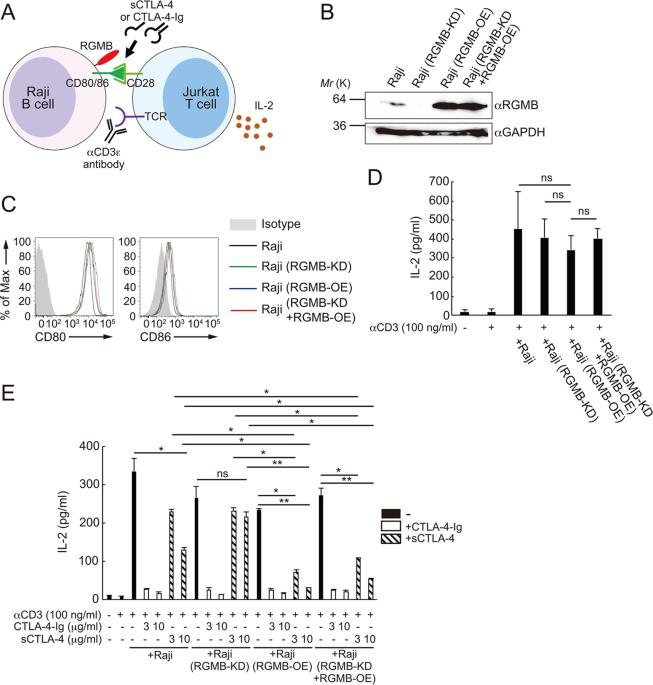 rgmb enhances the suppressive activity of the monomeric secreted form of ctla