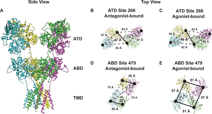 The Structural Arrangement At Intersubunit Interfaces In Homomeric Kainate Receptors Scientific Reports