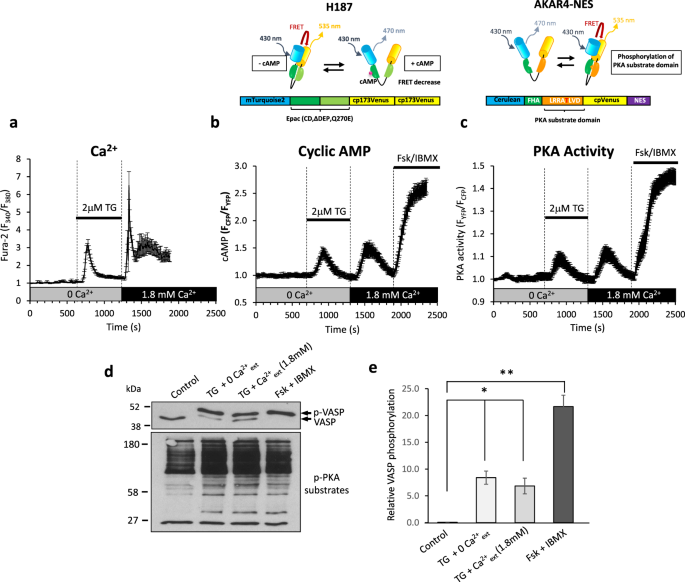 Soluble adenylyl cyclase links Ca 2+ entry to Ca 2+ /cAMP