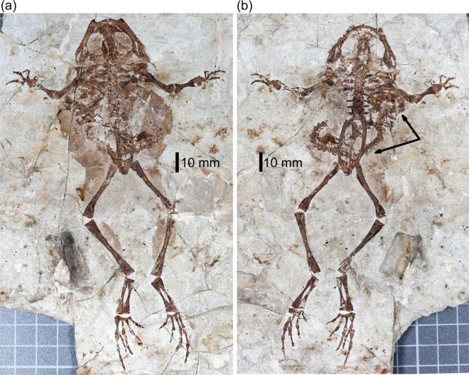 Inter-amphibian predation in the Early Cretaceous of China