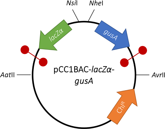 Promoter activity of ORF-less gene cassettes isolated from the oral metagenome