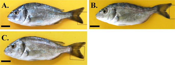 Recovery of haemal lordosis in Gilthead seabream ( Sparus aurata L