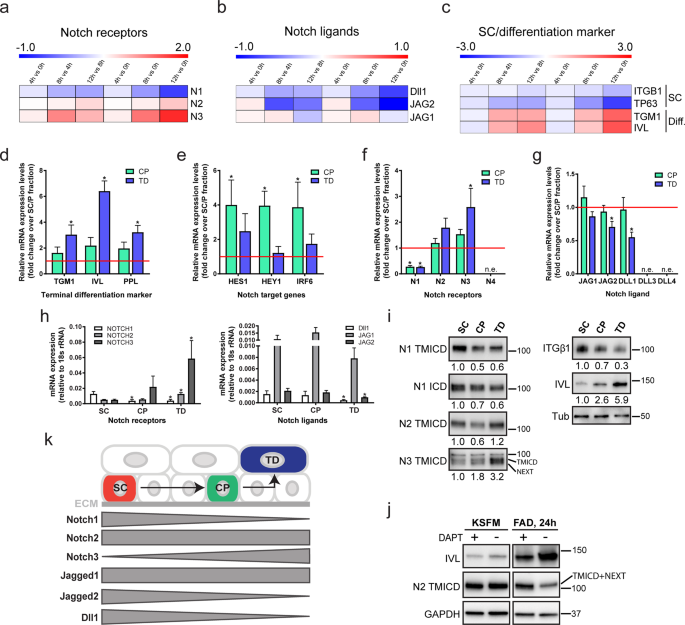 Delta-like 1-mediated cis-inhibition of Jagged1/2 signalling