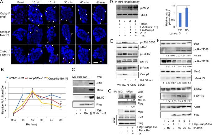 A new regulatory mechanism for Raf kinase activation