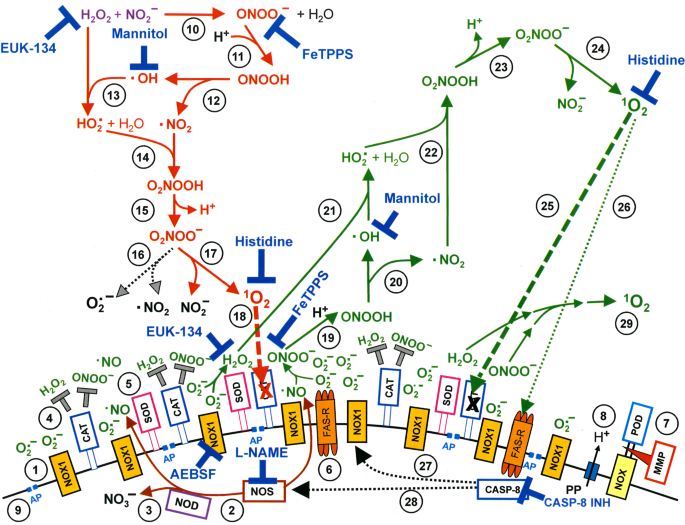 Dynamics of Singlet Oxygen-Triggered, RONS-Based Apoptosis ...