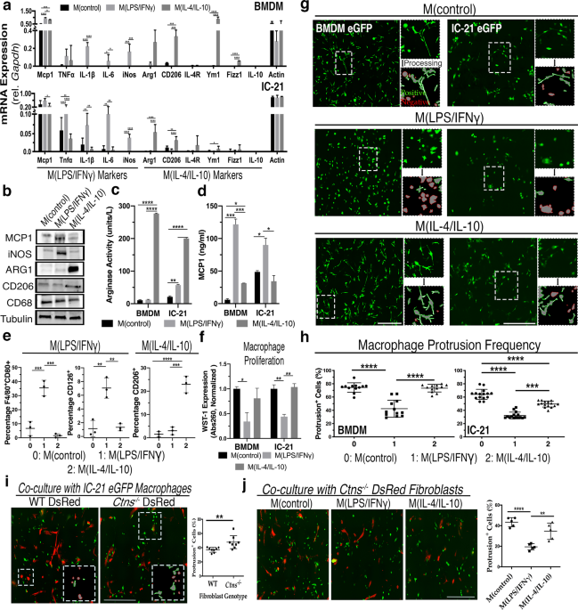 Macrophage polarization impacts tunneling nanotube formation and intercellular organelle trafficking