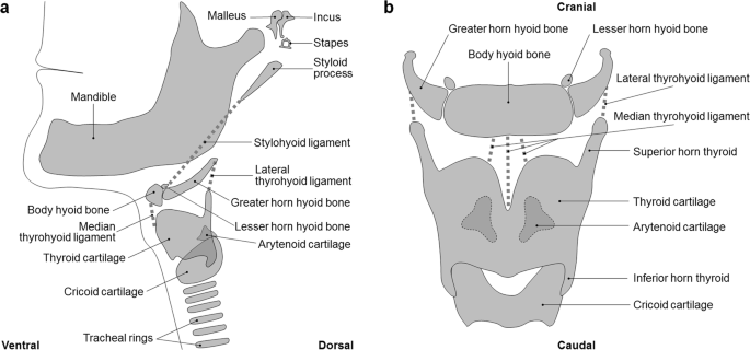 Variants Of The Hyoid Larynx Complex With Implications For