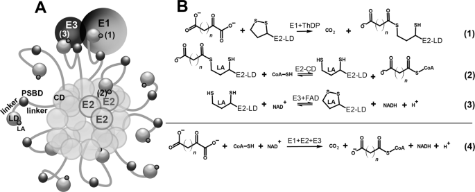 Synthetic Analogues Of 2 Oxo Acids Discriminate Metabolic Contribution Of The 2 Oxoglutarate And 2 Oxoadipate Dehydrogenases In Mammalian Cells And Tissues Scientific Reports