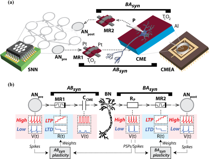 Memristive synapses connect brain and silicon spiking neurons